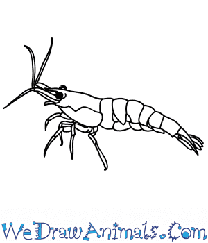 How to Draw a Realistic Shrimp in 5 Easy Steps