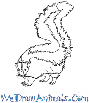 How to Draw a Realistic Skunk in 8 Easy Steps