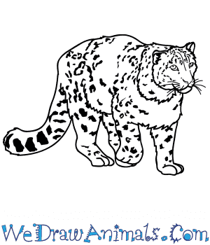 How to Draw a Realistic Snow Leopard in 9 Easy Steps