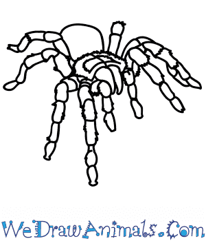 How to Draw a Realistic Tarantula in 5 Easy Steps