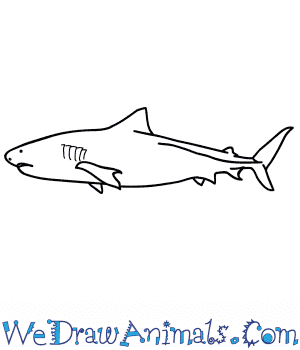 How to Draw a Realistic Tiger Shark in 7 Easy Steps