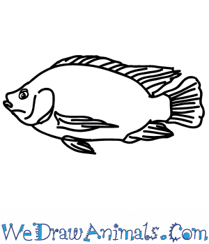 How to Draw a Realistic Tilapia in 5 Easy Steps