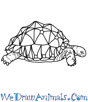 How to Draw a Realistic Tortoise in 7 Easy Steps