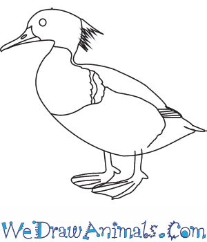 How to Draw a Red Breasted Merganser in 6 Easy Steps