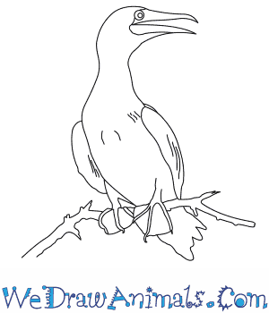 How to Draw a Red Footed Booby in 6 Easy Steps