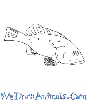 How to Draw a Red Grouper in 6 Easy Steps