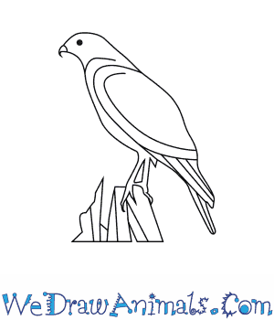 How to Draw a Red Shouldered Hawk in 6 Easy Steps