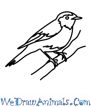 How to Draw a Redstart in 7 Easy Steps