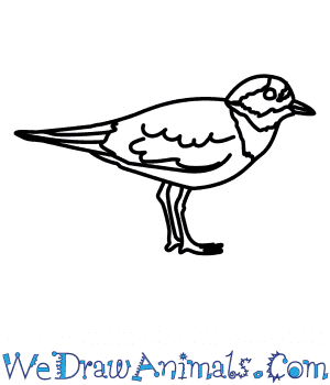 How to Draw a Ringed Plover in 5 Easy Steps