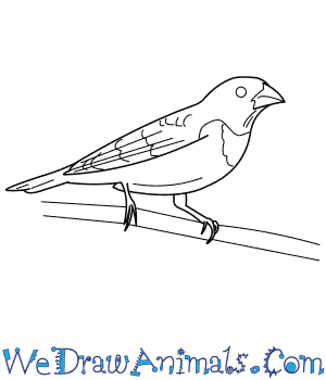 How to Draw a Rose Breasted Grosbeak in 9 Easy Steps
