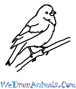 How to Draw a Rosefinch in 6 Easy Steps