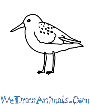 How to Draw a Sandpiper in 6 Easy Steps