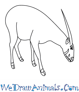 How to Draw a Saola in 9 Easy Steps