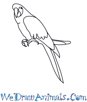How to Draw a Scarlet Macaw in 7 Easy Steps