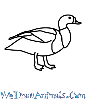 How to Draw a Shelduck in 6 Easy Steps