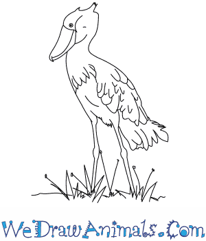 How to Draw a Shoebill in 9 Easy Steps
