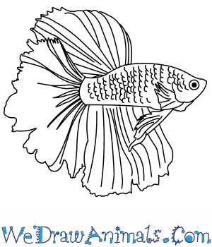 How To Draw A Siamese Fighting Fish