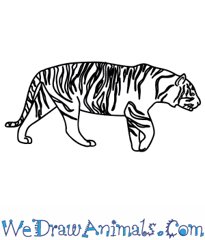 How to Draw a Siberian Tiger in 9 Easy Steps