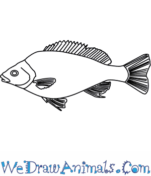 How to Draw a Silver Perch in 5 Easy Steps