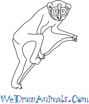 How to Draw a Slender Loris in 5 Easy Steps