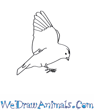 How to Draw a Snow Bunting in 6 Easy Steps