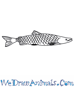 How to Draw a Sockeye Salmon in 7 Easy Steps