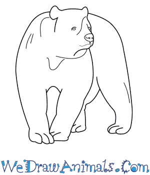 How to Draw a Spectacled Bear in 8 Easy Steps