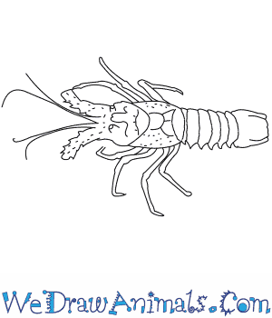 How to Draw a Spiny Lobster in 9 Easy Steps