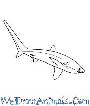 How to Draw a Thresher Shark in 7 Easy Steps