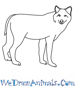 How to Draw a Timber Wolf in 8 Easy Steps
