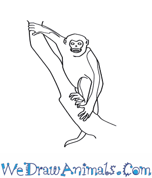 How to Draw a Tonkin Snub Nosed Monkey in 7 Easy Steps