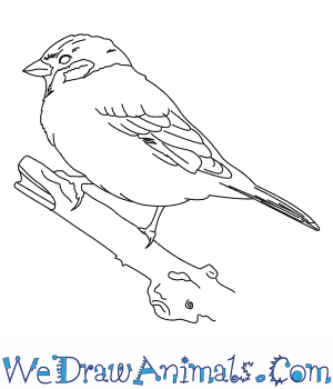 How to Draw a Tree Sparrow in 6 Easy Steps