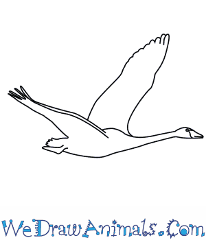 how to draw a trumpeter swan