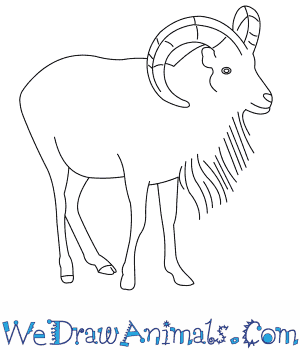 How to Draw an Urial in 7 Easy Steps