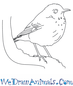 How to Draw a Veery in 6 Easy Steps