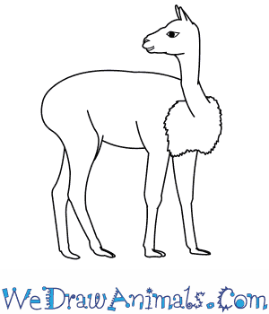 How to Draw a Vicuna in 9 Easy Steps