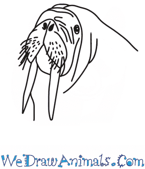 How to Draw a Walrus Head in 7 Easy Steps