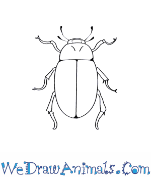 How to Draw a Water Beetle in 9 Easy Steps