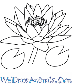 How to Draw a Water Lily Flower in 4 Easy Steps