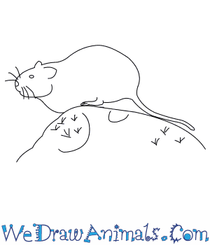 How to Draw a Water Vole in 7 Easy Steps
