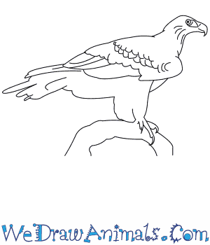 How to Draw a Wedge Tailed Eagle in 8 Easy Steps