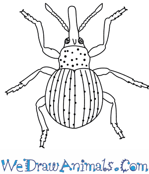 How to Draw a Weevil in 9 Easy Steps