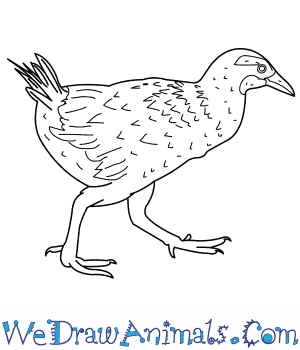 How to Draw a Weka in 8 Easy Steps