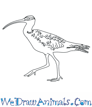 How to Draw a Whimbrel in 6 Easy Steps