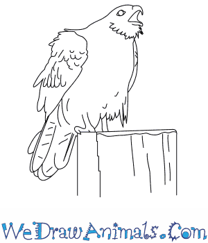 How to Draw a Whistling Kite in 6 Easy Steps