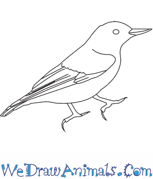 How to Draw a White Breasted Nuthatch in 7 Easy Steps