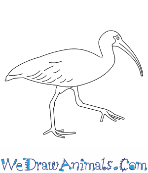 How to Draw a White Ibis in 7 Easy Steps