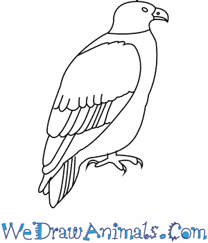 How to Draw a White Tailed Eagle in 6 Easy Steps
