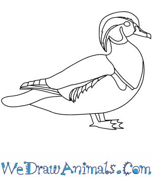 wood duck thumb how to draw a wood duck