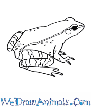 How to Draw a Wood Frog in 8 Easy Steps